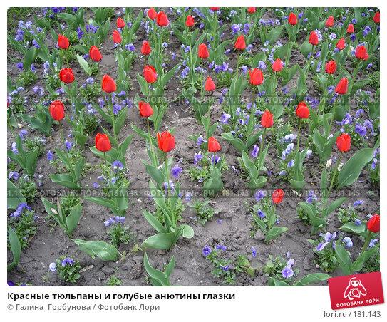 Купить «Красные тюльпаны и голубые анютины глазки», фото № 181143, снято 27 апреля 2006 г. (c) Галина  Горбунова / Фотобанк Лори