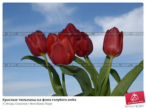 Красные тюльпаны на фоне голубого неба, фото № 42871, снято 22 июля 2017 г. (c) Игорь Соколов / Фотобанк Лори