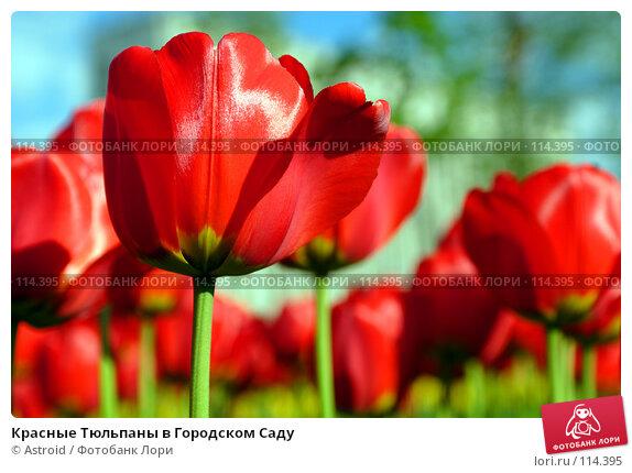 Красные Тюльпаны в Городском Саду, фото № 114395, снято 15 мая 2005 г. (c) Astroid / Фотобанк Лори