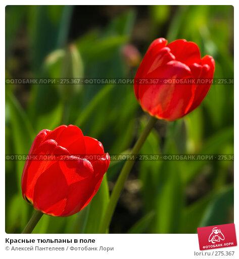 Красные тюльпаны в поле, фото № 275367, снято 2 мая 2008 г. (c) Алексей Пантелеев / Фотобанк Лори