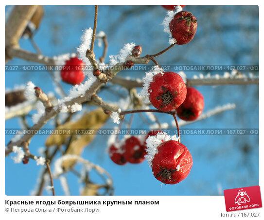 Красные ягоды боярышника крупным планом, фото № 167027, снято 5 января 2008 г. (c) Петрова Ольга / Фотобанк Лори