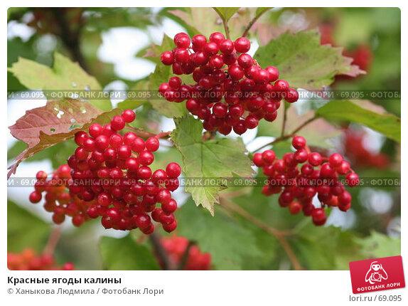 Красные ягоды калины, фото № 69095, снято 4 августа 2007 г. (c) Ханыкова Людмила / Фотобанк Лори