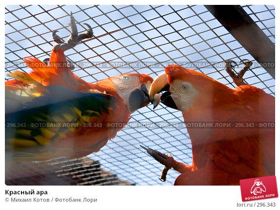 Красный ара, фото № 296343, снято 13 мая 2008 г. (c) Михаил Котов / Фотобанк Лори