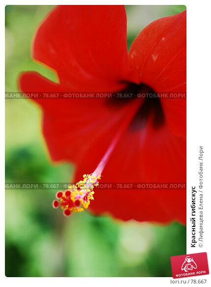 Красный гибискус, фото № 78667, снято 22 августа 2007 г. (c) Лифанцева Елена / Фотобанк Лори