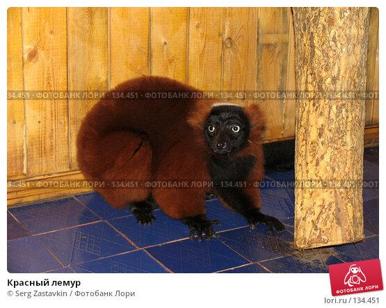 Купить «Красный лемур», фото № 134451, снято 10 октября 2004 г. (c) Serg Zastavkin / Фотобанк Лори