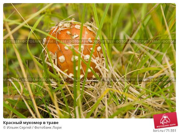 Красный мухомор в траве, фото № 71551, снято 14 августа 2006 г. (c) Ильин Сергей / Фотобанк Лори