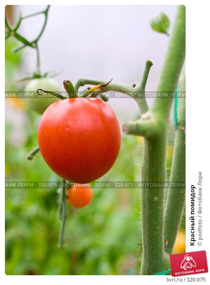 Купить «Красный помидор», фото № 320075, снято 2 сентября 2007 г. (c) podfoto / Фотобанк Лори