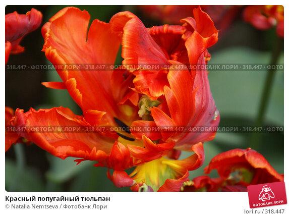 Красный попугайный тюльпан, эксклюзивное фото № 318447, снято 8 апреля 2008 г. (c) Natalia Nemtseva / Фотобанк Лори