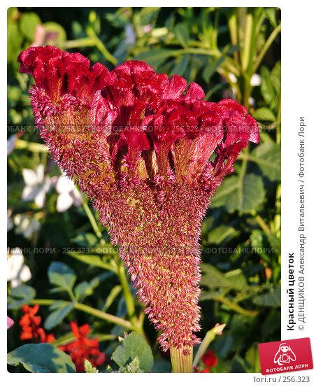 Купить «Красный цветок», фото № 256323, снято 7 августа 2007 г. (c) ДЕНЩИКОВ Александр Витальевич / Фотобанк Лори