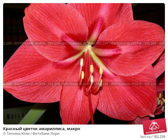 Красный цветок амариллиса, макро, фото № 182239, снято 21 января 2008 г. (c) Татьяна Юни / Фотобанк Лори