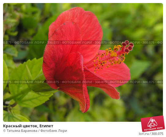 Красный цветок, Египет, фото № 300075, снято 12 ноября 2005 г. (c) Татьяна Баранова / Фотобанк Лори