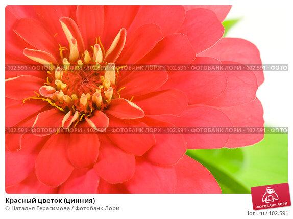 Красный цветок (цинния), фото № 102591, снято 24 марта 2017 г. (c) Наталья Герасимова / Фотобанк Лори