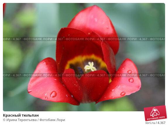 Красный тюльпан, эксклюзивное фото № 4367, снято 29 мая 2006 г. (c) Ирина Терентьева / Фотобанк Лори