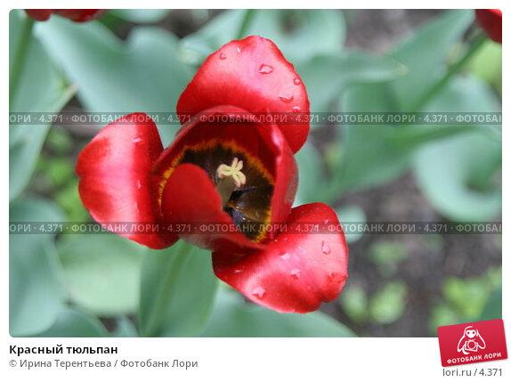 Красный тюльпан, эксклюзивное фото № 4371, снято 29 мая 2006 г. (c) Ирина Терентьева / Фотобанк Лори
