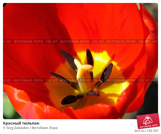 Красный тюльпан, фото № 135167, снято 20 мая 2005 г. (c) Serg Zastavkin / Фотобанк Лори