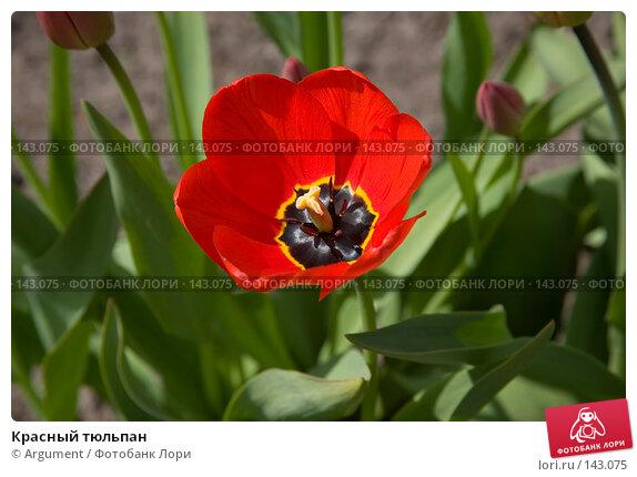 Красный тюльпан, фото № 143075, снято 18 мая 2007 г. (c) Argument / Фотобанк Лори