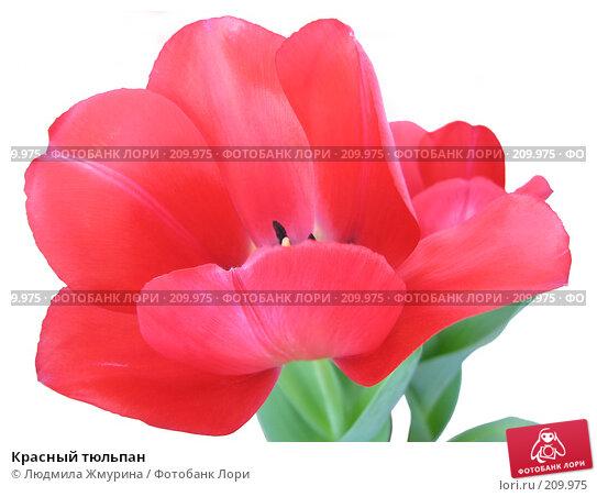 Красный тюльпан, фото № 209975, снято 26 февраля 2008 г. (c) Людмила Жмурина / Фотобанк Лори