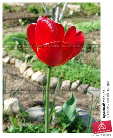 Красный тюльпан, фото № 216923, снято 24 мая 2017 г. (c) ElenArt / Фотобанк Лори