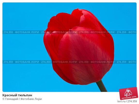 Красный тюльпан, фото № 274359, снято 17 мая 2007 г. (c) Геннадий / Фотобанк Лори