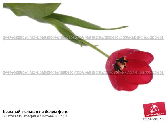 Красный тюльпан на белом фоне, фото № 208779, снято 17 января 2008 г. (c) Останина Екатерина / Фотобанк Лори