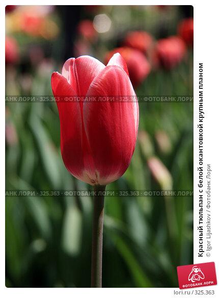 Красный тюльпан с белой окантовкой крупным планом, фото № 325363, снято 9 мая 2008 г. (c) Igor Lijashkov / Фотобанк Лори