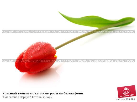 Красный тюльпан с каплями росы на белом фоне, фото № 303499, снято 21 апреля 2008 г. (c) Александр Паррус / Фотобанк Лори