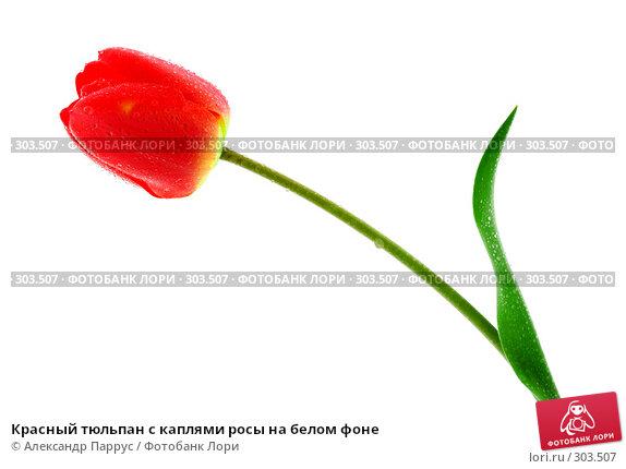 Красный тюльпан с каплями росы на белом фоне, фото № 303507, снято 21 апреля 2008 г. (c) Александр Паррус / Фотобанк Лори