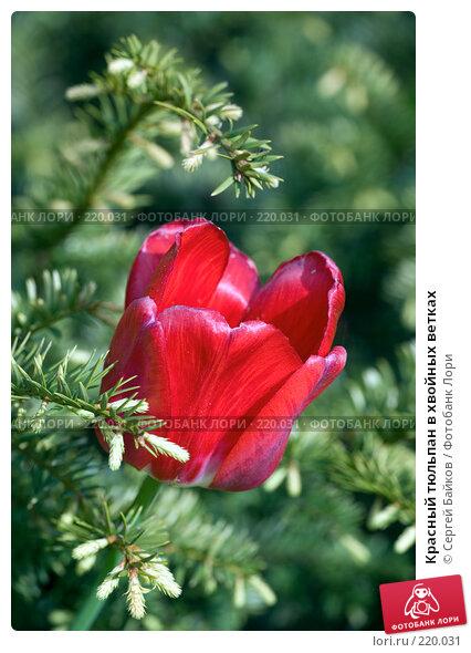 Красный тюльпан в хвойных ветках, фото № 220031, снято 19 мая 2007 г. (c) Сергей Байков / Фотобанк Лори