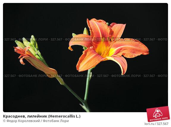 Красоднев, лилейник (Hemerocallis L.), фото № 327567, снято 14 июня 2008 г. (c) Федор Королевский / Фотобанк Лори
