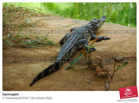 Купить «Крокодил», фото № 313079, снято 15 августа 2007 г. (c) Знаменский Олег / Фотобанк Лори
