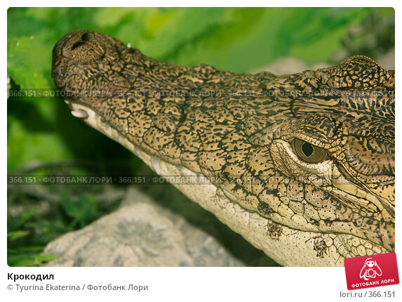 Купить «Крокодил», фото № 366151, снято 18 июля 2008 г. (c) Tyurina Ekaterina / Фотобанк Лори