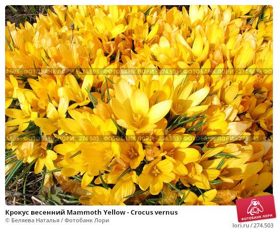 Крокус весенний Mammoth Yellow - Crocus vernus, фото № 274503, снято 12 мая 2007 г. (c) Беляева Наталья / Фотобанк Лори
