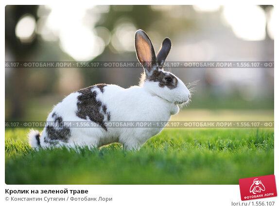 Купить «Кролик на зеленой траве», фото № 1556107, снято 23 ноября 2008 г. (c) Константин Сутягин / Фотобанк Лори