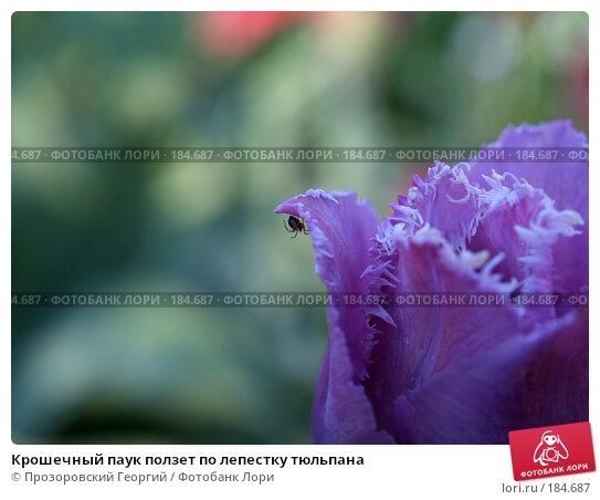 Крошечный паук ползет по лепестку тюльпана, фото № 184687, снято 20 мая 2007 г. (c) Прозоровский Георгий / Фотобанк Лори