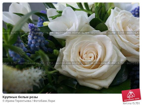 Крупные белые розы, эксклюзивное фото № 5751, снято 3 июня 2005 г. (c) Ирина Терентьева / Фотобанк Лори