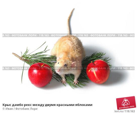 Крыс дамбо рекс между двумя красными яблоками, фото № 118163, снято 23 сентября 2007 г. (c) Иван / Фотобанк Лори