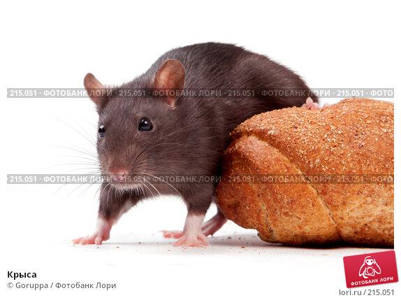Купить «Крыса», фото № 215051, снято 19 октября 2007 г. (c) Goruppa / Фотобанк Лори