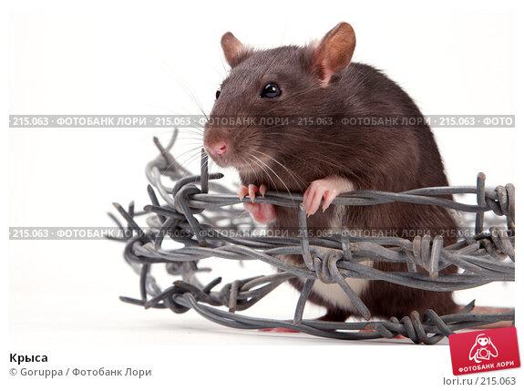 Крыса, фото № 215063, снято 19 октября 2007 г. (c) Goruppa / Фотобанк Лори