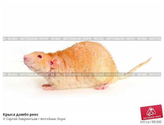 Крыса дамбо рекс, фото № 89043, снято 23 сентября 2007 г. (c) Сергей Лаврентьев / Фотобанк Лори