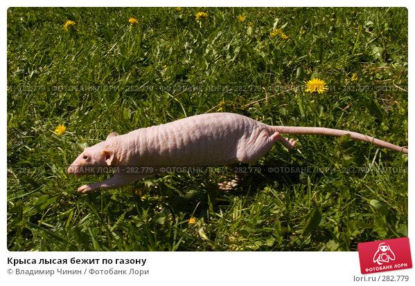 Крыса лысая бежит по газону, эксклюзивное фото № 282779, снято 12 мая 2008 г. (c) Владимир Чинин / Фотобанк Лори