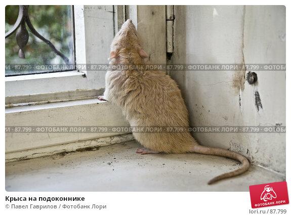 Купить «Крыса на подоконнике», фото № 87799, снято 23 сентября 2007 г. (c) Павел Гаврилов / Фотобанк Лори