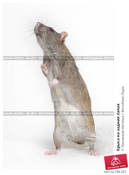 Крыса на задних лапах, фото № 84251, снято 15 сентября 2007 г. (c) Лисовская Наталья / Фотобанк Лори