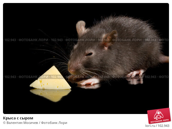 Крыса с сыром, фото № 102943, снято 24 августа 2017 г. (c) Валентин Мосичев / Фотобанк Лори