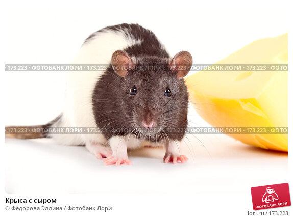 Крыса с сыром, фото № 173223, снято 29 ноября 2007 г. (c) Фёдорова Эллина / Фотобанк Лори