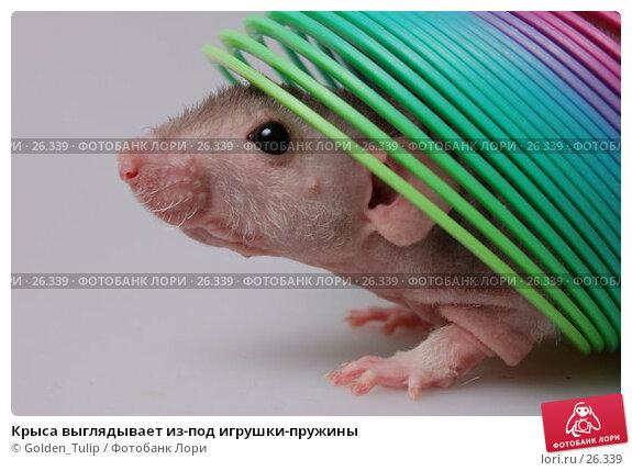 Крыса выглядывает из-под игрушки-пружины, фото № 26339, снято 18 марта 2007 г. (c) Golden_Tulip / Фотобанк Лори