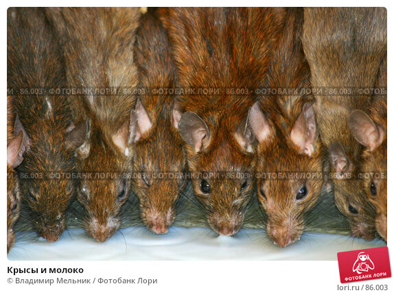 Крысы и молоко, фото № 86003, снято 3 марта 2004 г. (c) Владимир Мельник / Фотобанк Лори