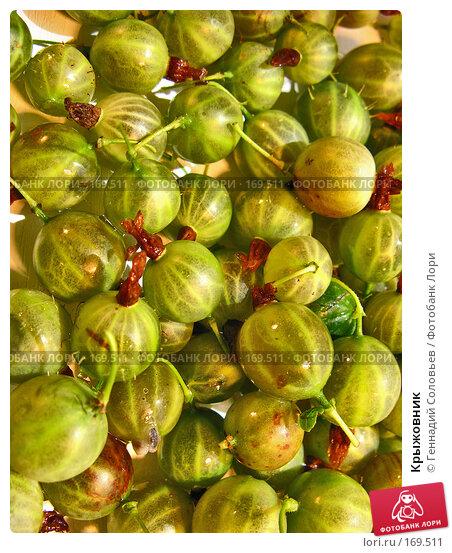 Купить «Крыжовник», фото № 169511, снято 4 августа 2007 г. (c) Геннадий Соловьев / Фотобанк Лори