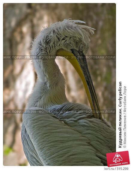 Кудрявый пеликан. Curly pelican, фото № 315299, снято 10 мая 2008 г. (c) Максим Пименов / Фотобанк Лори