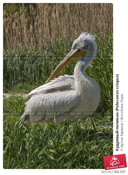 Кудрявый пеликан (Pelecanus crispus), фото № 306547, снято 4 мая 2008 г. (c) Артем Ефимов / Фотобанк Лори