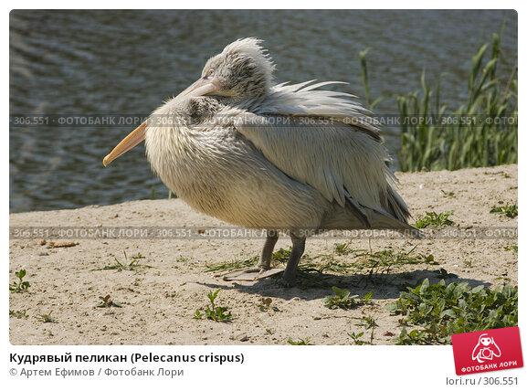 Кудрявый пеликан (Pelecanus crispus), фото № 306551, снято 4 мая 2008 г. (c) Артем Ефимов / Фотобанк Лори